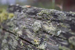 Descripción de las enfermedades del pepino - Podredumbre gris
