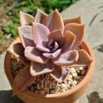 Echeveria planta