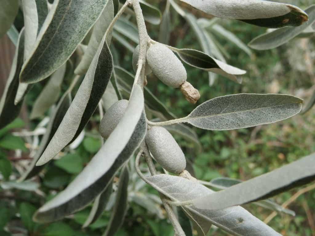 Puntos importantes a la hora de sembrar árbol del paraíso Elaeagnus, Angustifolia