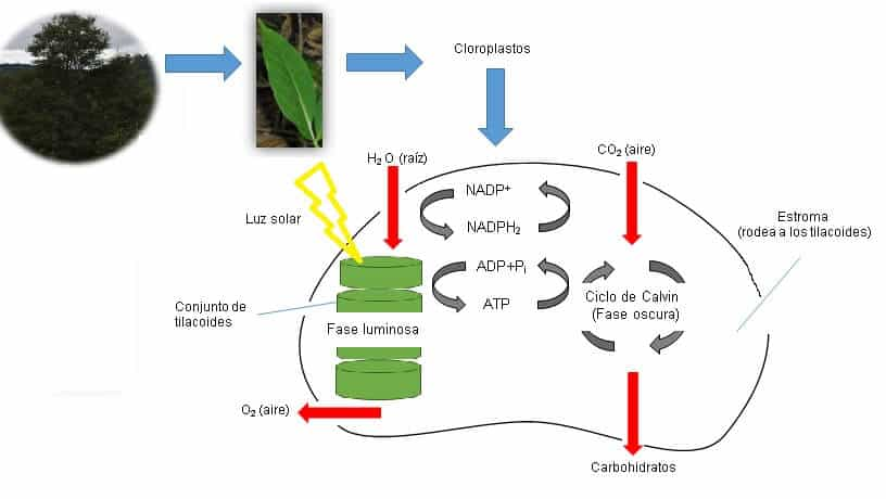 dibujo del proceso de fotosíntesis