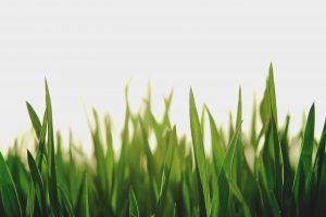 Evitar que la grama florezca