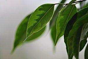 Riego de Ficus Benjamina