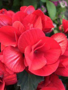 Flores tropicales - Begonias
