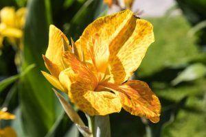 Flores tropicales - Cana