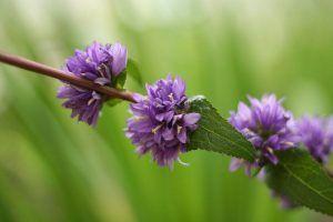 Flores tropicales - Flor murciélago