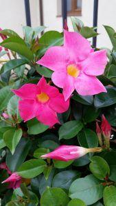 Flores tropicales - Mandevilla