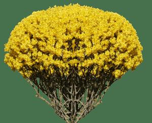 ¿Cuándo florece la Forsitia?