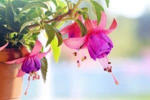 Plagas y enfermedades de los pendientes de la reina Fuchsia