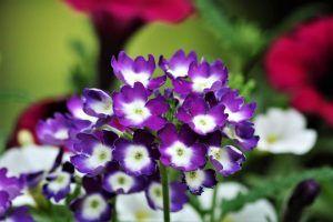 Heliotropo planta medicinal
