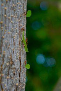 Por qué las hormigas afectan a los árboles