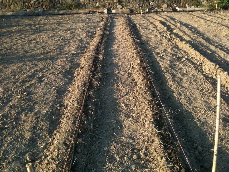 sembrar patatas goteo
