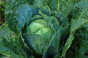 Kale lacitano o Tuscan Kale