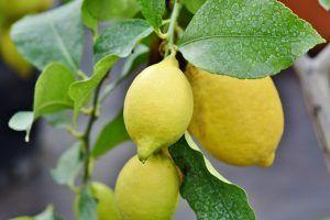 Plantar en invierno - Limonero