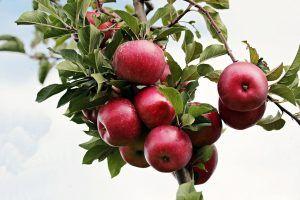 A qué cultivos afectan las moscas de la fruta - Manzanas