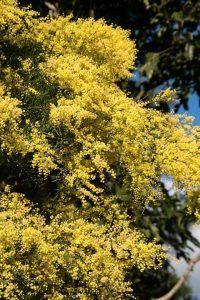 Mimosa árbol -