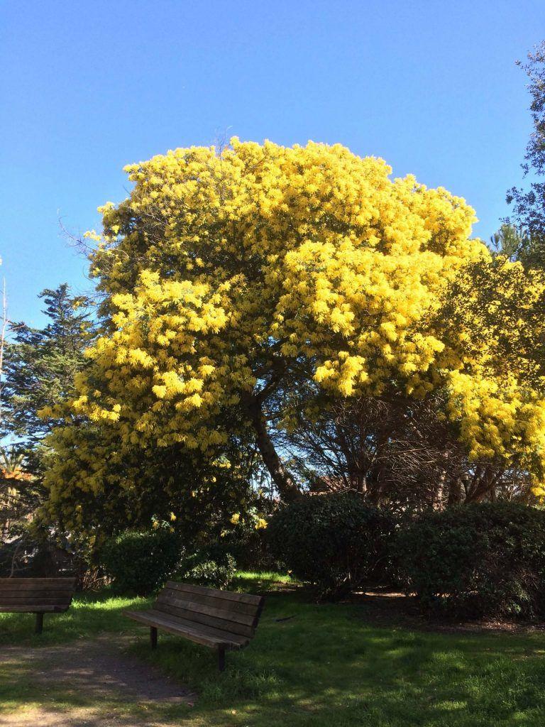 Mimosa árbol