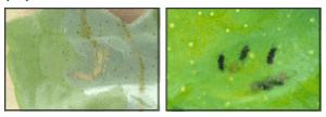 Minador de Cítricos [Cómo Identificarlo y Combatirlo]