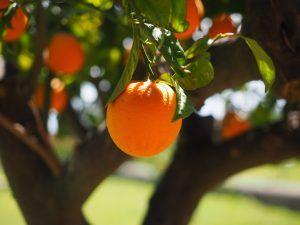 Cómo podemos detectar falta de riego en los naranjos por goteo