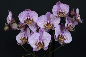 Cómo conseguir que los esquejes de orquídeas enraícen correctamente -