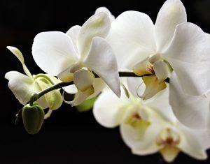 Cómo debemos tomar los esquejes de orquídeas para sembrarlos