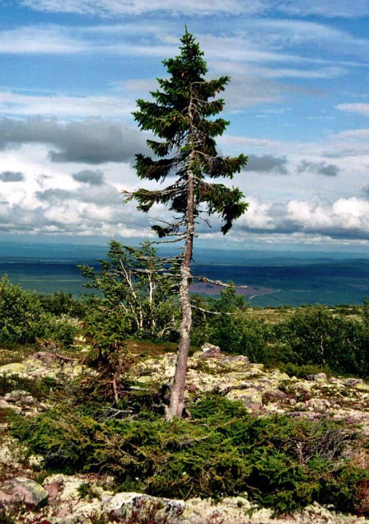 Pícea solitaria de Noruega árbol más viejo del mundo
