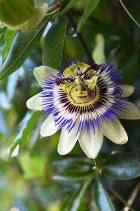 Passiflora caerulea planta