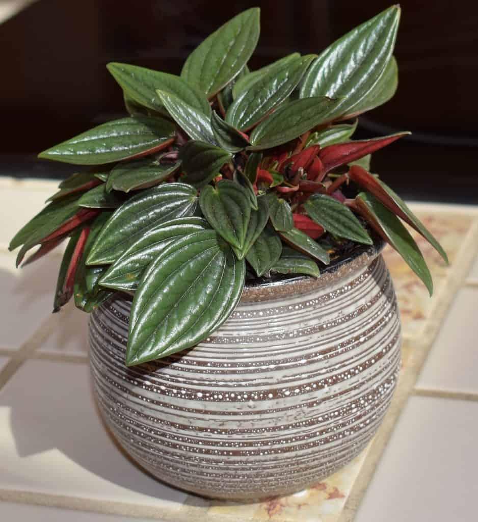 peperomia caperata jardín vertical