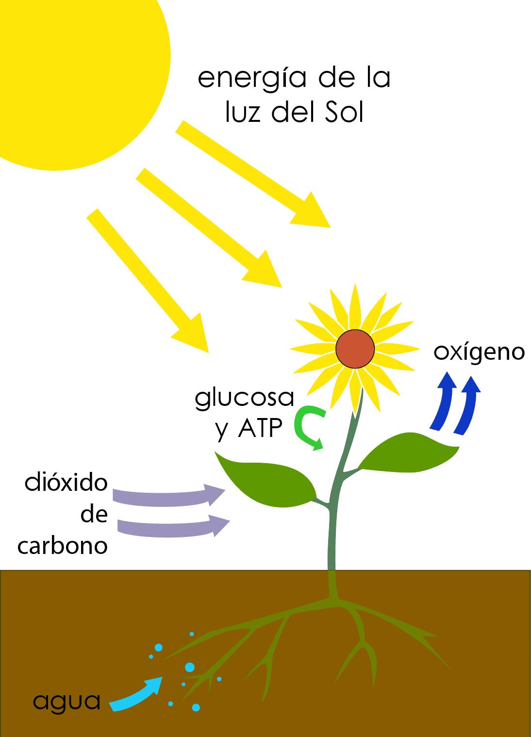 dibujo de la fotosíntesis