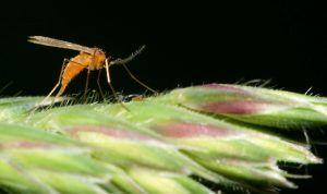 Plagas y enfermedades de la lavanda - Larvas de cecidómidos