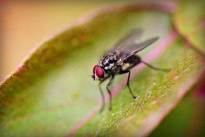 Plagas y enfermedades del naranjo -Trips