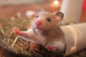 Plagas y enfermedades del azafrán - Ratones topos