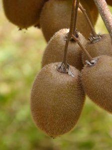 Plagas y enfermedades del kiwi - Moho gris