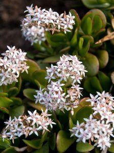 Planta de Jade planta