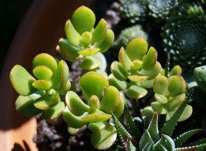 Cómo sembramos paso a paso una planta de Jade