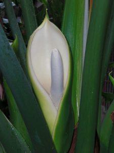 Plantas de Interior que Necesitan Poca Luz - Costilla de Adán