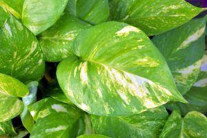 Plantas de Interior que Necesitan Poca Luz - Potos