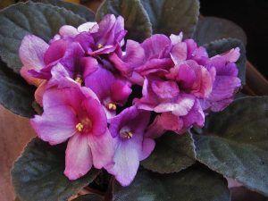 Plantas de Interior que Necesitan Poca Luz - Violeta africana