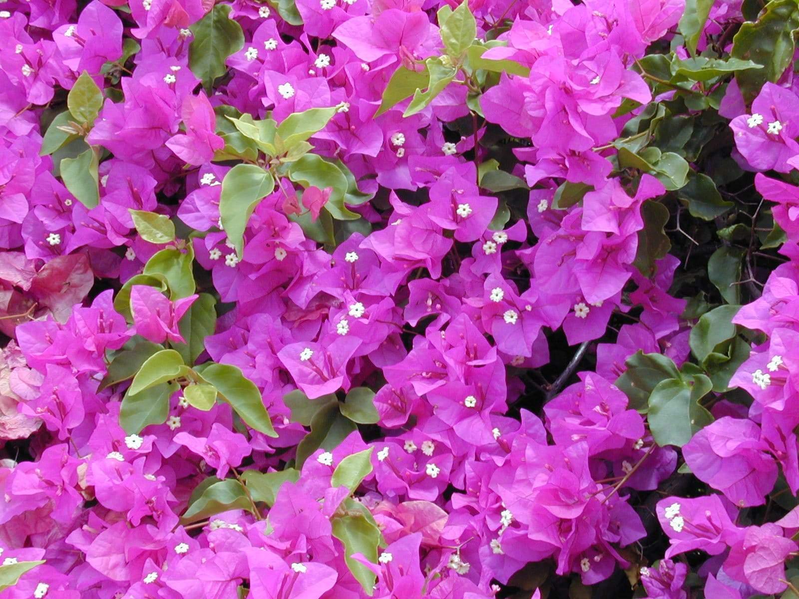 Plantas ornamentales Bougainvillea_spectabilis