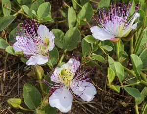 Cómo podar las alcaparras sin dañar la planta - Poda en verde