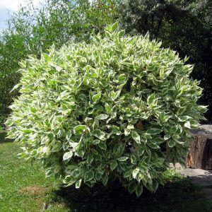 Podar Ficus Benjamina