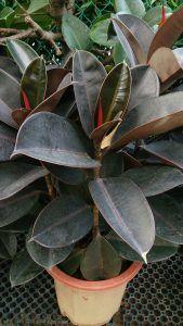 Podar Ficus Robusta
