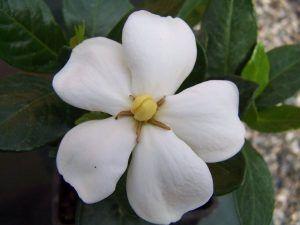 Podar Gardenias