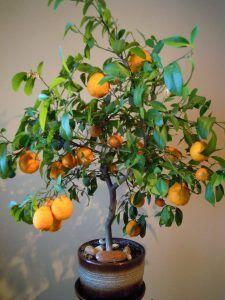 Riego del Naranjo en Maceta