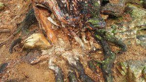 Podredumbre de las raíces