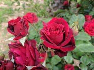 Por qué debemos realizar la poda de rosales