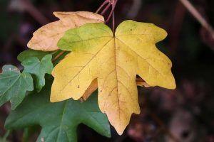 Por qué se manchan las hojas de las plantas