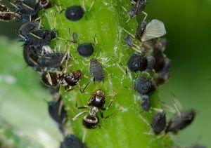 Plagas y enfermedades de la albahaca - Pulgones