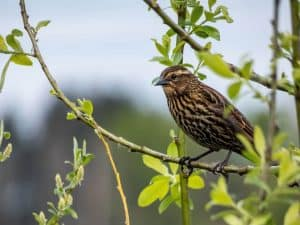 Qué cuidados necesita el cabrahigo - Protección contra pájaros
