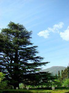 Qué cuidados necesita el cedro del Líbano