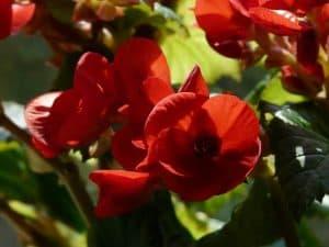 Qué cuidados necesita la Begonia elatior - Iluminación